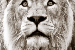Lion-head-South-Africa-by-Micael-Kallin