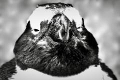 Penguin-Argentina-by-Micael-Kallin